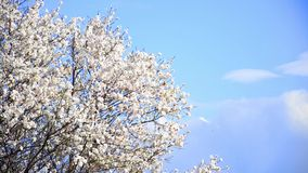 Cherry tree flowers blooming. In springtime.Tree sway by wind against blue sky medium shoot stock video
