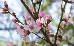 Cherry Tree flowers, Cherry Blossom Festival, Georgia USA. Pink, white and violet buds and blossoms of the Cherry Tree in March, Georgia, USA. A cherry blossom royalty free stock photos