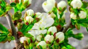 Cherry Tree Flowers Blossoms branco video estoque