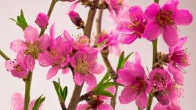 Cherry Tree Flowers Blossoms rosado almacen de video