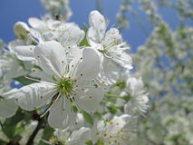 Cherry tree flowers. With the blue sky Stock Images