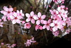Cherry tree flowers on blurred background Stock Images