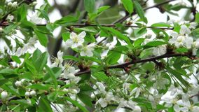 Cherry tree flowers. Cherry flowers stock video. The video shows the white flowers of the cherry tree swaying in the wind in summer or spring. These frames will stock footage