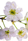Cherry tree flowers close-up Royalty Free Stock Image