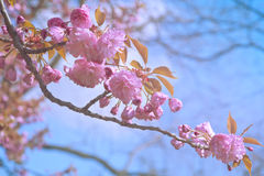 Cherry tree flowers closeup. On blue sky background Royalty Free Stock Photo