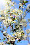 Cherry tree flowers closeup Royalty Free Stock Image
