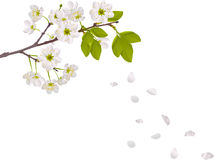 Cherry tree flowers and falling petals Stock Photos
