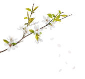 Cherry tree flowers and falling petals isolated on white Royalty Free Stock Photos