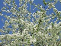 Cherry tree flowers. Cherry tree flowering with white flowers Stock Image