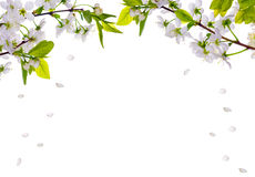 Cherry-tree Flowers Half Frame And Falling Petals Stock Images