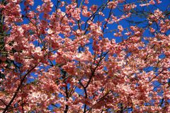Cherry tree flowers Royalty Free Stock Photos