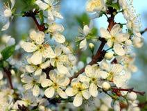 Cherry tree flowers macro Stock Photos