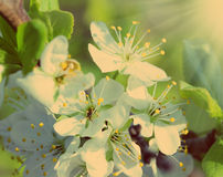 Cherry tree flowers macro - vintage retro style Royalty Free Stock Photo