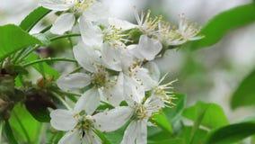 Cherry Tree Flowers Nahaufnahme stock video footage