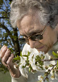 Cherry tree flowers and old woman Stock Photography