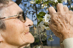 Cherry tree flowers and old woman Stock Images