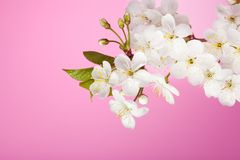 Cherry tree flowers on pink background Stock Photography