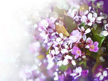 Free Cherry Tree Flowers, Pink Spring Cherry Blossoms Royalty Free Stock Photography - 54283617