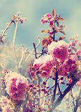 Cherry tree flowers, Pink spring Cherry blossoms Royalty Free Stock Photography