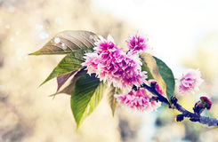 Cherry tree flowers, Pink spring Cherry blossoms Stock Photos