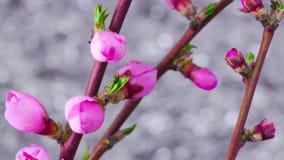 Cherry Tree Flowers rose banque de vidéos