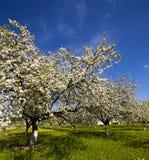 Cherry-tree flowers Stock Photo