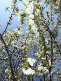 Cherry tree flowers in spring Stock Image