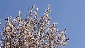 Cherry Tree Flowers Spring Blossom arkivfilmer
