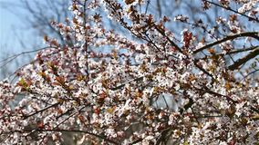 Cherry Tree Flowers Spring Blossom. Background stock video