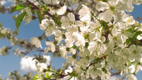Cherry tree flowers on a sunny day. And warm weather with a blue sky stock footage