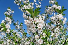Cherry tree with flowers royalty free stock images