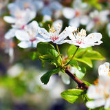 Cherry tree in flowers Royalty Free Stock Photo