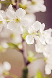 Cherry tree flowers. White flowers on a cherry tree branch royalty free stock photo