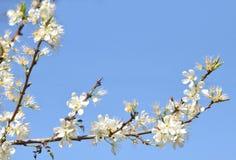 Cherry-tree flowers Royalty Free Stock Image