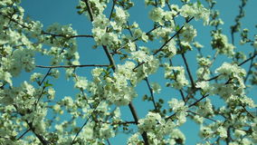 Cherry tree flowers in windy weather stock video