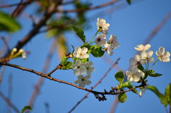 Cherry tree flowers Stock Images