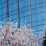Cherry tree in front of blue building。china shanghai Stock Image