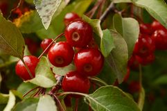 Cherry Tree Fruiting royalty free stock images