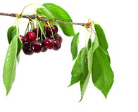 Cherry tree with fruits and leaves Stock Photos