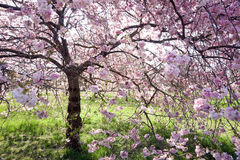 Cherry tree in full bloom Royalty Free Stock Photos