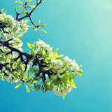 Cherry tree in full bloom, with a filter effect Royalty Free Stock Images