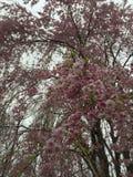 Cherry Tree In Full Bloom que llora Imágenes de archivo libres de regalías