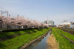 Cherry tree in full bloom of Sasame River Stock Photography