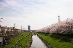 Cherry tree in full bloom of Sasame River Royalty Free Stock Photo