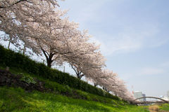 Cherry tree in full bloom of Sasame River Royalty Free Stock Photography