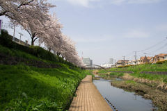Cherry tree in full bloom of Sasame River Royalty Free Stock Photos