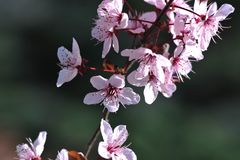 Cherry tree in full bloom - spring. Close up of cherry tree in full bloom - springtime stock images