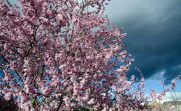 Cherry tree in full blooming under dramatic clouds Royalty Free Stock Photos