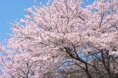 Cherry tree in full blossom. Stock Image