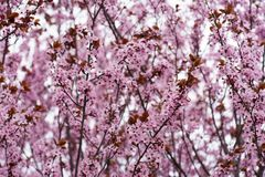 Cherry tree in full blossom in spring time Royalty Free Stock Photo